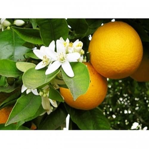Mandarīns sarkanais, Ēteriskā eļļa 5ml